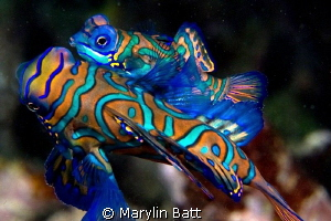 Mating Mandarin Fish by Marylin Batt 